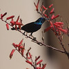 A Palestine Sunbird in an attractive setting. (Photo by guide Phil Gregory)