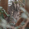 A day-roosting Pallid Scops-Owl on the tour was a great find we were directed to by some local birders. (Photo by guide Phil Gregory)