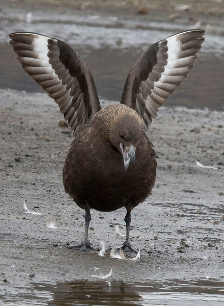 A Brown Skua long-calling at Deception Island (Photo by guide George Armistead)