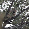A trip highlight for our Yellowstone in Winter group was seeing this Mountain Lion climb up into a tree...wow! (Photo by participant Steve Wakeham)