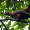 A most bizarre bird to be seen in Guyana is Capuchinbird, a bare-headed, bowing, mooing, orange-puffed lekking species. Photo by participant Ann Urlanda.