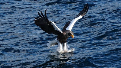 The immense Steller's Sea-Eagle hits the water at Rausu in this photo by guide Phil Gregory.