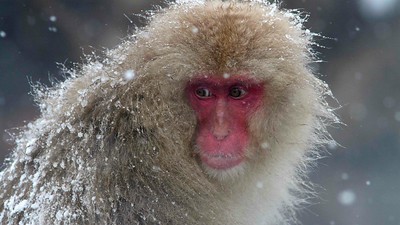 Japanese Macaque, photographed by Winter in Japan participant Ken Havard.