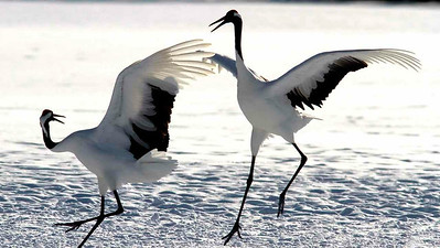 Shifting to our Japan in Winter tour, we find Red-crowned Cranes in a graceful image by participant Ken Havard.