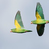 Orange-chinned Parakeets with the distinctive wing lining, photographed by guide Tom Johnson.