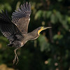 A fine portrait of a Bare-throated Tiger-Heron on takeoff by guide Tom Johnson.