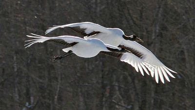 Red-crowned Cranes again, photographed by participant Ken Havard.