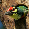 This Coppersmith Barbet photographed by participant Reggie David had got itself a great roost hole.