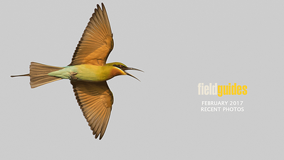 Blue-tailed Bee-eater from Cambodia, where we begin this month's gallery with images from our recent trip guided by Phil Gregory and Doug Gochfeld (who brought home this lovely image).
