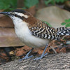 ...or this Rufous-naped Wren by guide Cory Gregory...