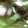 Checking the dark understory, we found this big-eyed Bicolored Antbird attending an army ant swarm. Photo by guide Tom Johnson.
