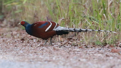 This fantastic Hume's Pheasant came right out into the open at Doi Lang! Photo by guide Dave Stejskal.