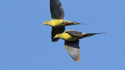 """Pin-tailed Pigeons in flight near Mondulkiri -- the distinctive tail shape makes this one of the easiest of the Treron (""""green-pigeon"""") genus to identify. Photo by guide Doug Gochfeld."""