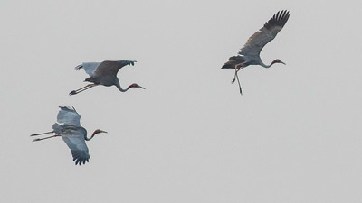Sarus Cranes coming in to land near Ang Trapeang Thmor. Photo by guide Doug Gochfeld.