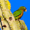 The aptly named Cactus Parakeet, a specialty of the caatinga habitat of N.E. Brazil, photographed by participant Rick Woodruff.