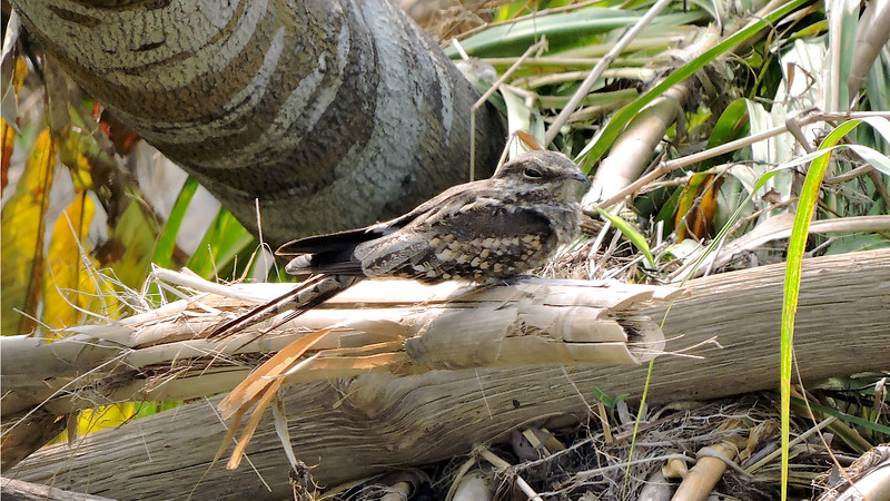 Ladder-tailed Nightjar has just the right feather palette to blend in with riverside vegetation. Photo by guide Willy Perez.
