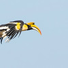 A fabulous fly-by of Great Hornbill at Jahoo Gibbon Camp was a Cambodia tour highlight. Photo by guide Doug Gochfeld.