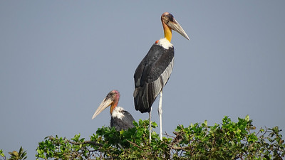 We had fine views of Greater Adjutants on our boat ride to Prek Toal. Photo by guide Phil Gregory.