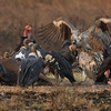 """The famous """"vulture restaurant"""" at Baeng Toal is the only place in S.E. Asia you can see such scenes these days, as vultures have declined so much. Photo by guide Doug Gochfeld."""