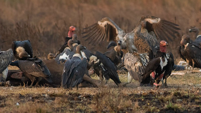 "The famous ""vulture restaurant"" at Baeng Toal is the only place in S.E. Asia you can see such scenes these days, as vultures have declined so much. Photo by guide Doug Gochfeld."