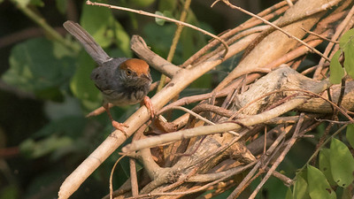 Cambodian Tailorbird was only discovered quite recently -- right in the shadow of the largest city in Cambodia, Phnom Penh. Photo by guide Doug Gochfeld.
