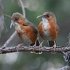 Rusty-cheeked Scimitar-Babblers in a nice conifer motif. Photo by guide Dave Stejskal.