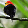 Now to our Sacha Lodge tour: This brilliant candle in the dark understory is Wire-tailed Manakin -- blows our mind every time. Photo by guide Willy Perez.