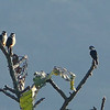 Not many falcons come by the treeful, but the endearing Collared Falconets do. Photo by participant Randy Siebert.