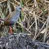 We had a nice encounter with the localized Bogota Rail at La Florida Marsh. Photo by participant Jose Padilla-Lopez.