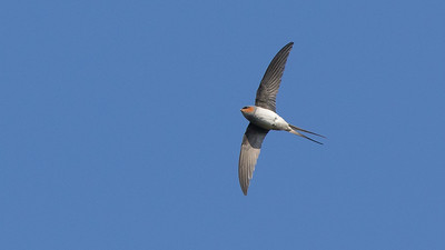 Crested Treeswift, a wonderful aerial acrobat, photographed by guide Doug Gochfeld.
