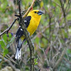 Keeping on the yellow theme, a handsome Golden Grosbeak hangs out on a misty day. Photo by participant Pete Peterman.