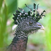 Female Great Curassow heads are adorned with an amazing set of twisted and curled feathers. Photo by guide Cory Gregory.