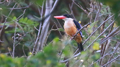 Black-capped Kingfisher near Bangkok, photographed by guide Dave Stejskal.