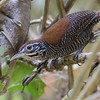 Our Costa Rica tours offer some great wren opportunities, like this fancy Riverside by guide Tom Johnson...