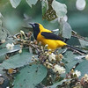 Yellow-backed Oriole, photographed by participant Paul Demkovich.