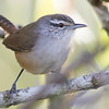 ...or this Isthmian Wren by guide Tom Johnson. This is one of 3 species resulting from the split of Plain Wren (Canebrake and Cabanis's the others).