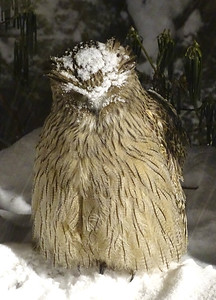 Is there a Snowy-crowned Owl? Well, sort of -- this is a snow-dusted Blakiston's Fish-Owl, photographed by guide Phil Gregory.