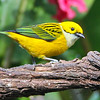Silver-throated Tanager is another Costa Rica/Panama specialty. Photo by participant Peter Sacks.