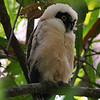 Spectacled Owls are cool, but the fluffball juves are just amazing. Photo by participant Paul Demkovich.