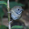 This White-gorgeted Flycatcher popped out in the understory to take a peek at our group. Photo by guide Dave Stejskal.