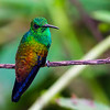 Copper-rumped Hummingbird (Amazilia tobaci)