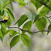 "A Black-throated Green Warbler peeks out from among the leaves at Pelee. This itinerary regularly sees more than 25 species of the fabulous wood-warblers.<div id=""caption_tourlink"" align=""right""> [Photo © participant Imre Sziebert]</div>"