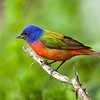 "We may as well start this month's recent photos with a bang. How about a male Painted Bunting in an image by participant Francesco Veronesi from our spring Texas Hill Country tour!?!<div id=""caption_tourlink"" align=""right""> [Photo © participant Francesco Veronesi]</div>"