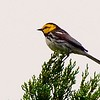 "Golden-cheeked Warbler is the other big draw and another species with a tiny breeding range.  Our thanks to Francesco for returning with lovely photos of each!<div id=""caption_tourlink"" align=""right""> [Photo © participant Francesco Veronesi]</div>"