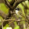 "There are two big Texas bird draws to our Hill Country tours, of course, the first being Black-capped Vireo, most elegant and endangered among its vireo cousins.<div id=""caption_tourlink"" align=""right""> [Photo © participant Francesco Veronesi]</div>"