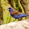 "This first-spring male Blue Grosbeak provided a more muted but no less elegant palette for our eyes.<div id=""caption_tourlink"" align=""right""> [Photo © participant Francesco Veronesi]</div>"