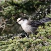 "Gray Jays are regular in the spruce-fir woods in Algonquin...looks like someone must be studying this particular individual (note the band on its leg).<div id=""caption_tourlink"" align=""right""> [Photo © participant Imre Sziebert]</div>"