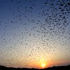 "As the sun sets, the stream of bats exiting the cave grows ever larger and denser -- there are million of bats yet to emerge.<div id=""caption_tourlink"" align=""right""> [Photo © participant Francesco Veronesi]</div>"