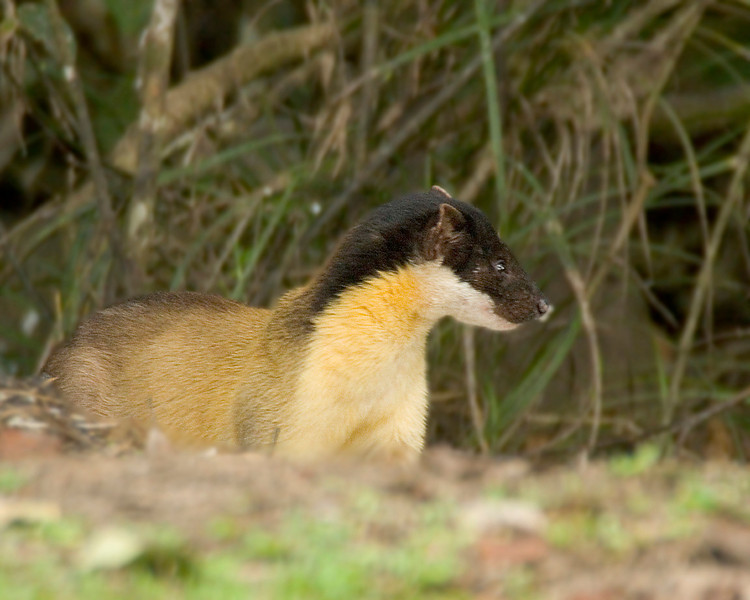 "Mammals are always a special bonus of our birding: Participant Peggy Keller captured this shot of an elegant Yellow-throated Marten at Khao Yai NP on a previous year's Thailand tour.<div id=""caption_tourlink"" align=""right"">Link to: <a id=""caption_tourlink"" href=""http://www.fieldguides.com/thailand.htm"" target=""_blank"">THAILAND</a><br>[photo © Peggy Keller]</div>"
