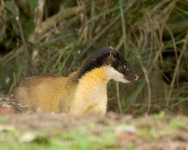 Mammals are always a special bonus of our birding: Participant Peggy Keller captured this shot of an elegant Yellow-throated Marten at Khao Yai NP on a previous year's Thailand tour.Link to: THAILAND[photo © Peggy Keller]